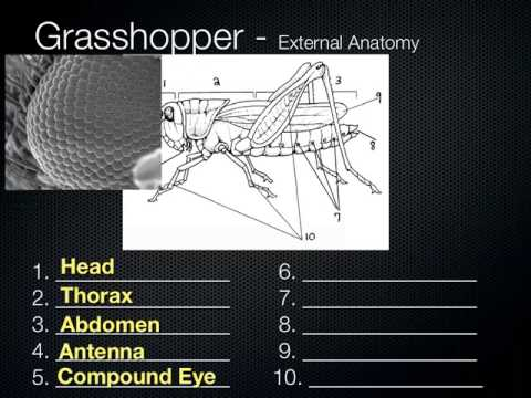 Sci 78 Sci 7 Grasshopper Anatomy Youtube