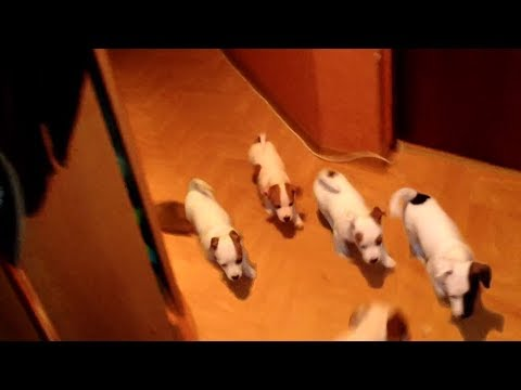 Five Jack Russell Terriers are meet their owner at home