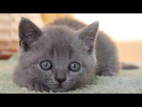 Британский котенок по кличке тим  2 месяца первый день дома