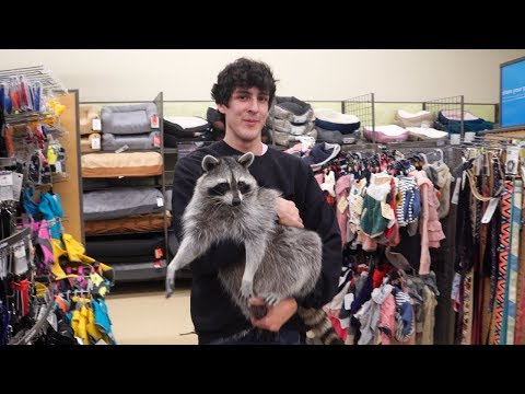I take my pet raccoon shopping at the pet store