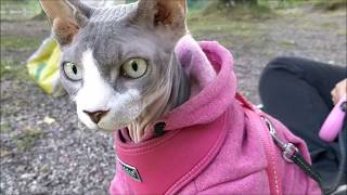 Walking outside with a sphynx cat
