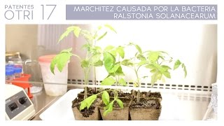 PATENTE OTRI #17: MARCHITEZ CAUSADA POR LA BACTERIA RALSTONIA SOLANACEARUM