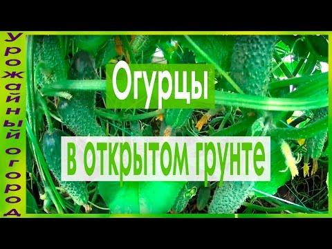 Цветы эустома выращивание в теплице и в открытом грунте
