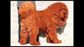 Самая дорогая собака в мире  (Тибетский мастиф)