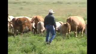 Low-Stress Cattle Handling for Productivity and Safety