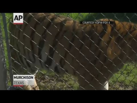 Tiger found in abandoned home now at sanctuary