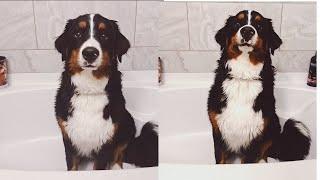 Giving A Bernese Mountain Dog A Bath | Part One