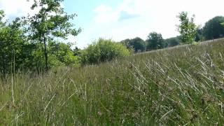 Erstgesang eines jungen Feldschwirl (Locustella naevia) im Schweimker Moor