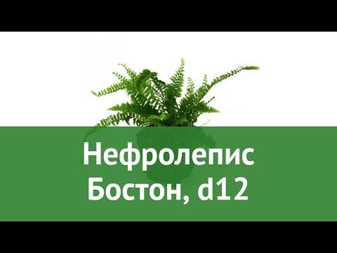 Нефролепис Бостон, d12 обзор ЦКР0050 бренд производитель