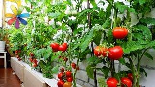 посадить помидоры видео