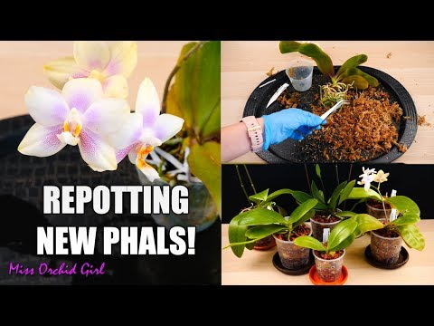 Phalaenopsis Orchids Repotting Party 🎉 - New Orchids In New Pots!