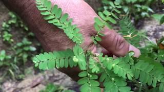 Ervas Medicinais: Conheça e saiba como usar as plantas medicinais.