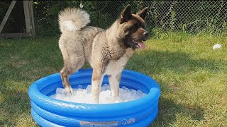 Surprising my Akita puppies with a mini pool of ice!