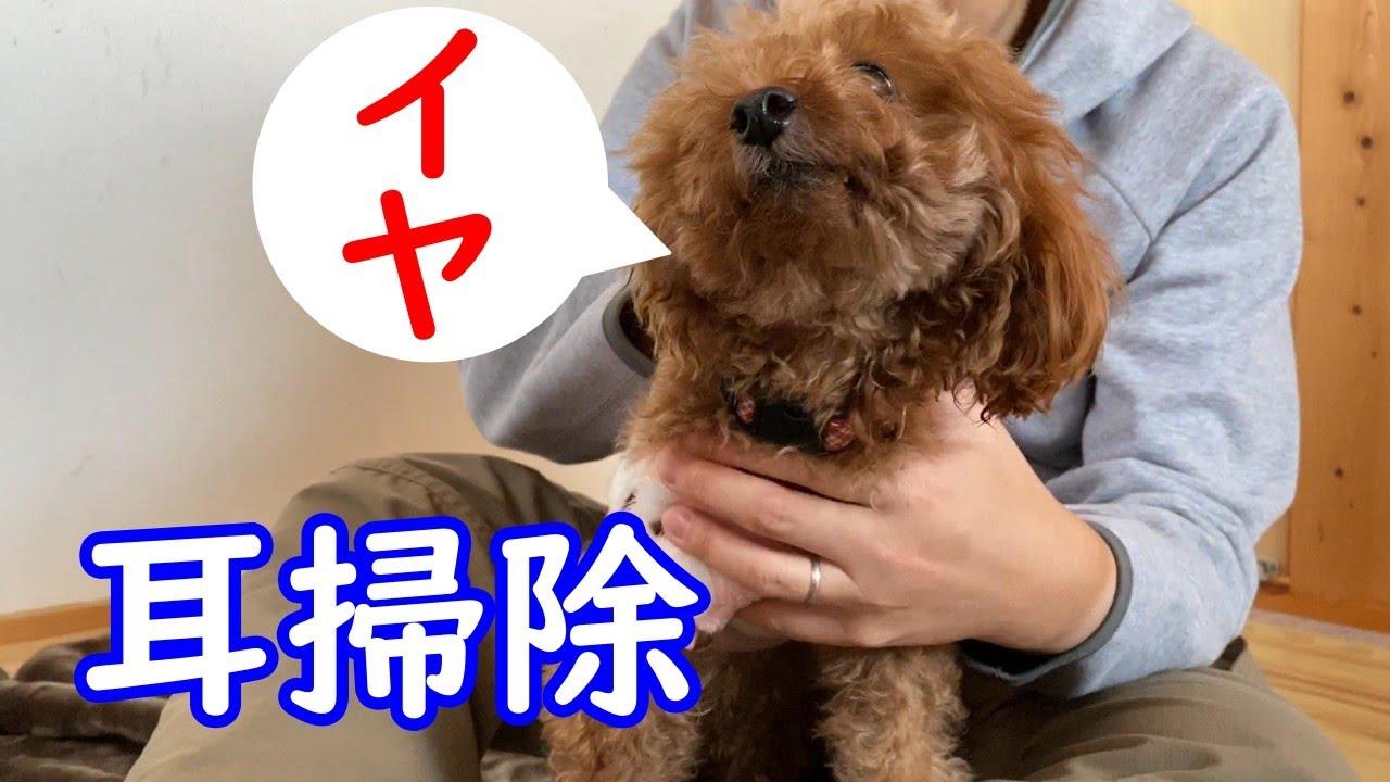 犬 耳 掃除 耳掃除を嫌がる犬に勧めたいやり方とは?【獣医師監修】