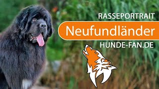 Newfoundland Dog [2019] Breed, Appearance & Character