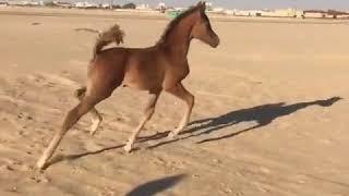 Yok böyle bir tatlılık. At yavrusu tay sevimli halleri. Hayvanlar alemi en tatlı  en komik  video