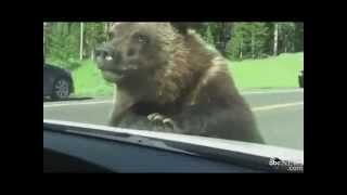 гризли щимится в машину