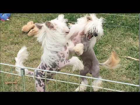 Chinese Crested Dogs Wrestle