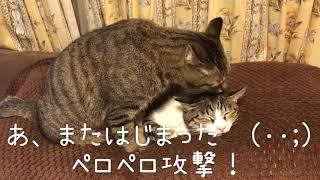 ペロペロ攻撃!のはじまりです【猫あるある】 thumbnail