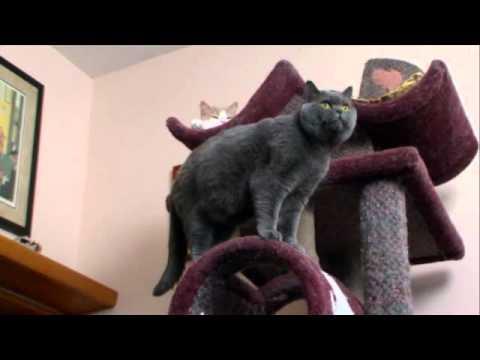 cats 101 british-shorthair ** High Quality**