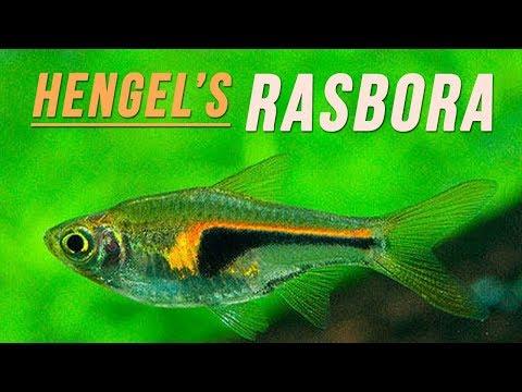 Species Spotlight | Hengel's Rasbora