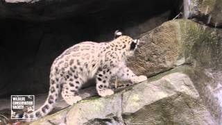 Snow Leopard Cubs at Central Park Zoo