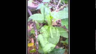 Polk Salad Annie.wmv