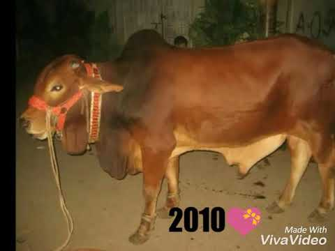 MY COW FOR QURBANI SINCE 2010💝