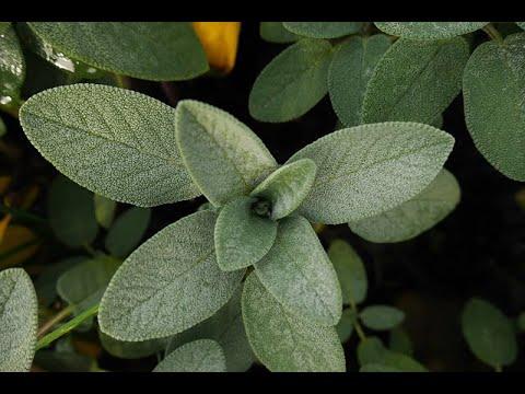 12 Proven Health Benefits of Sage