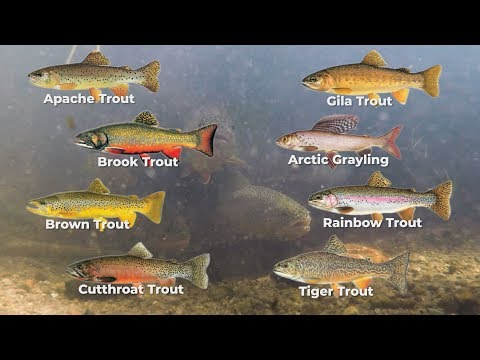 Arizona Trout Challenge