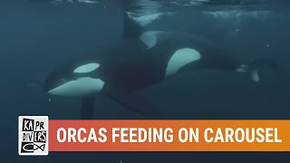 Orcas feeding on Carousel, underwater video with sound