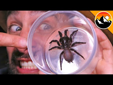 Download Milking the World's Most Venomous Spider!