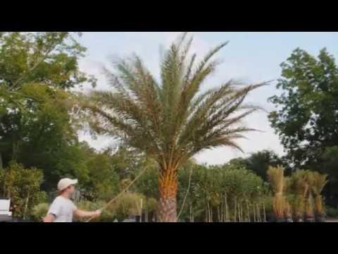 *Plant Sylvester Palm Trees* +Phoenix sylvestris+Zone 8 & 9+