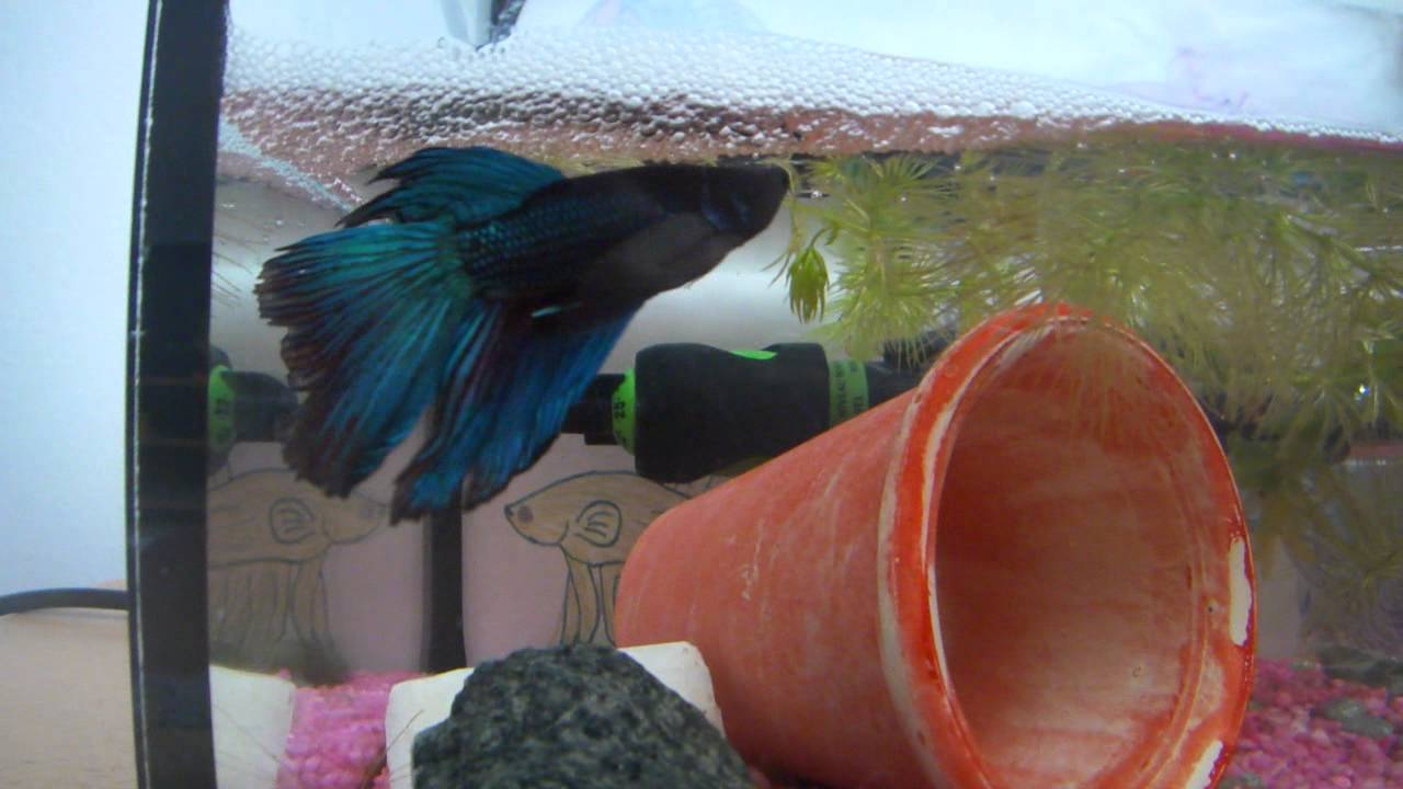 How to breed betta fish youtube for How to breed betta fish