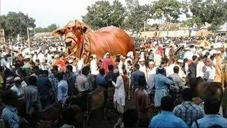 এবারের কুরবানীর হাটে ১৫০০ কেজি ওজনের সবচেয়ে বড় গরু বাহাদুর। কত বিক্রি হয়েছে জানলে চোখ কপালে ওটে যাবে