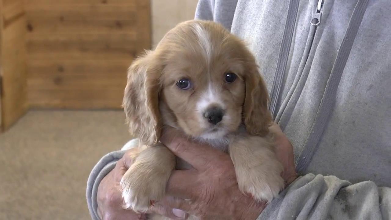 Cockalier Puppies For Sale From Wwwdyerfarmscom - Youtube-8093