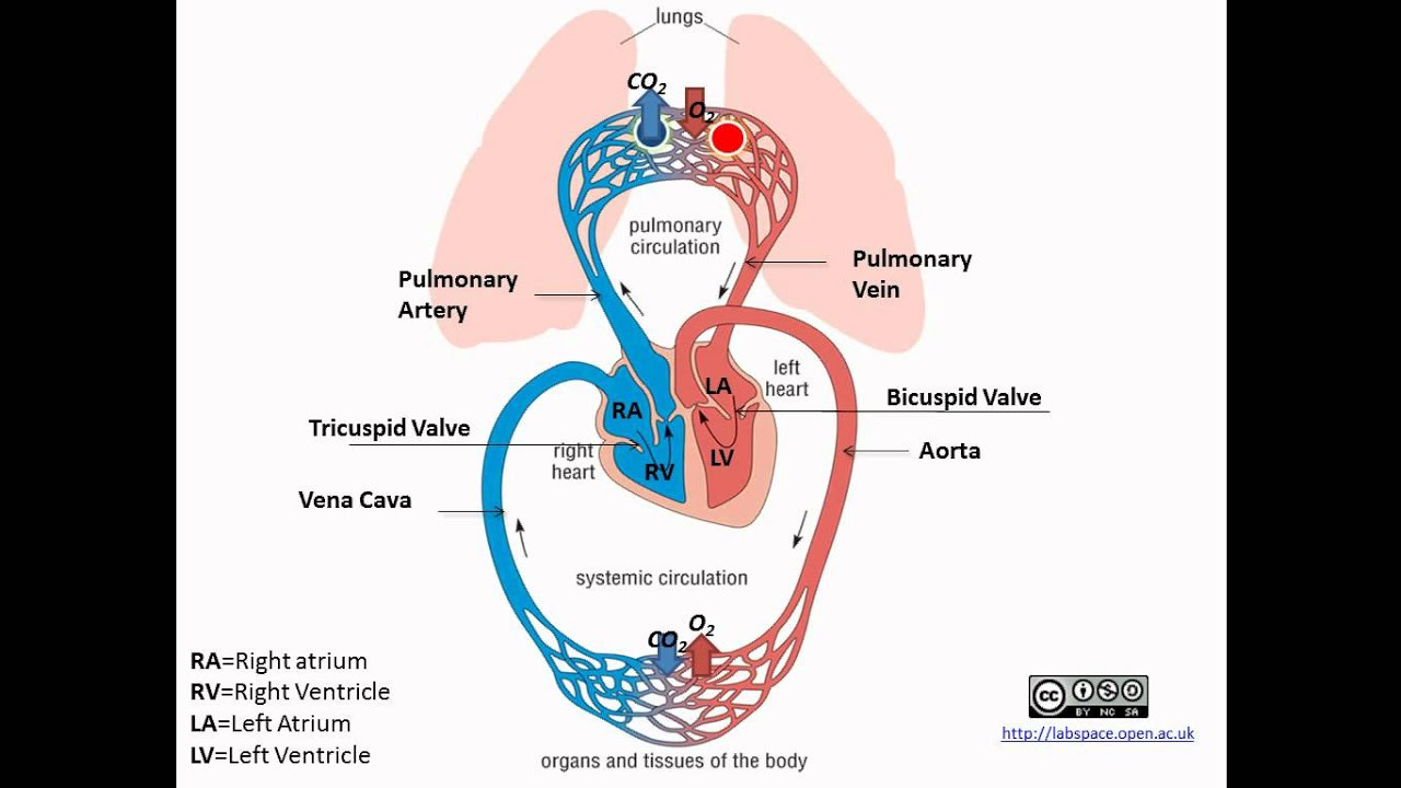 Pulmonary And Systemic Circulation Concept Map.Pulmonary And Systemic Circulation Youtube