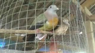 ,,,Burung yg paling cantik  bulu nya di aceh,,,