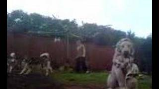 My malamutes playin in the yard (mud pit) after its rained