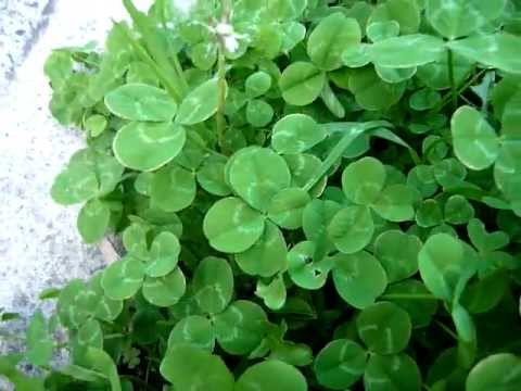 statistics of finding a 4 leaf clover The four-leaf clover appears in several episodes of the dept heaven series a rare clover those who find it are blessed with good luck, even in love.