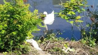 Лебеди на лебедином пруду, продолжение жизни.