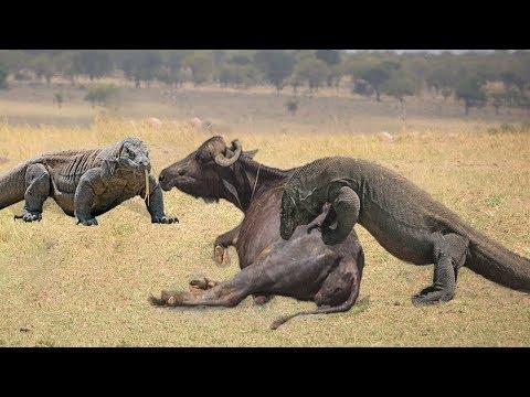TOP 4 BEST HUNTING SCENES OF KOMODO DRAGON   Reptiles In Africa