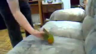 Nicely Trained parrot Acting as Dead hahahaha Thumbnail