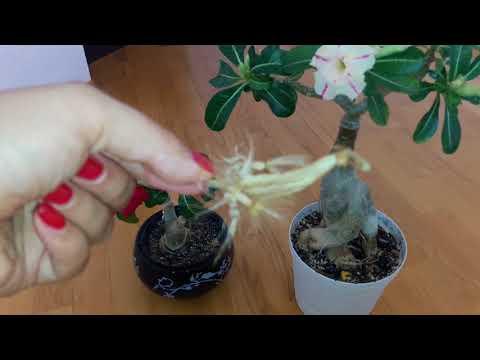 Адениум завязал семена в домашних условиях!