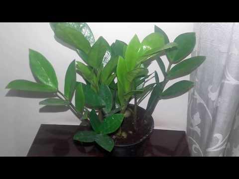 The best indoor plant - How to grow a ZZ plant/Zamioculcas Zamiifolia