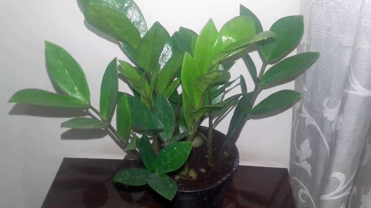 The best indoor plant How to grow a ZZ plantZamioculcas