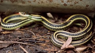 Ribbon snake video montage filled with information and facts includ...