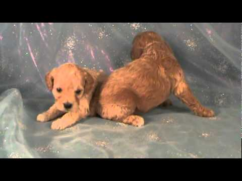Two female Cockapoo puppies for sale in Iowa Cocker spaniel Miniature  poodle mix breed mpg
