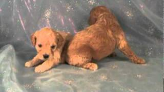 Two Female Cockapoo Puppies For Sale In Iowa Cocker Spaniel Miniature Poodle Mix Breed.mpg