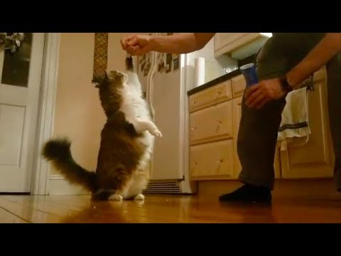 Cat Training: Teaching Tricks Using Positive Reinforcement
